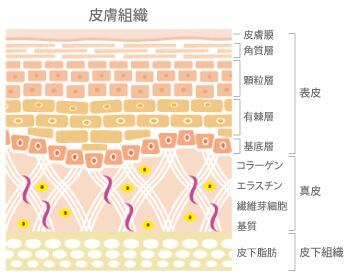 皮膚構造 引用