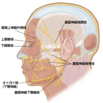 顔面神経図
