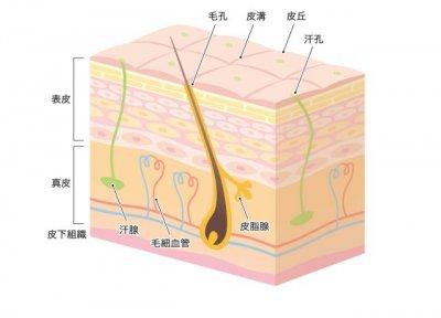 皮膚構造3D