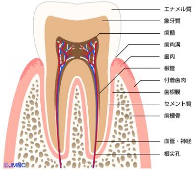 歯の構造図