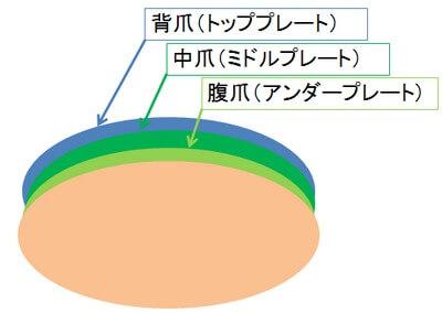 爪3層構造