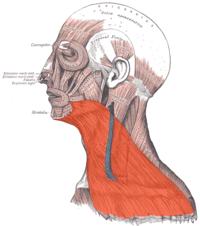 引用広頚筋