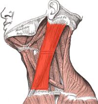 引用胸鎖乳突筋